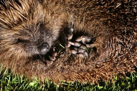 Hedgehog BBOWT Andy Fairbairn