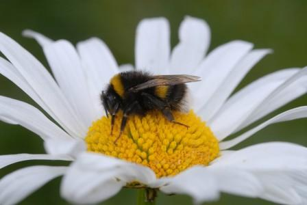 RS4897 Oxe eye daisy with bee Nigel Smith-scr